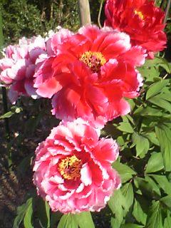 be9ef1320 但馬ボタン寺にはぼけふうじ観音等がまつられおりとても優しさお顔でしたその敷地内に沢山の花が綺麗に手入れされていてその中でもばたんの花が見事でした花の形は丸く  ...